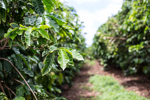 Ka'anapali Coffee Farms