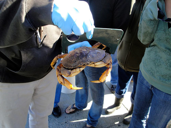 A Dungeness crab that is legal size-wise, but you can't keep these crabs if they are caught in the bay.