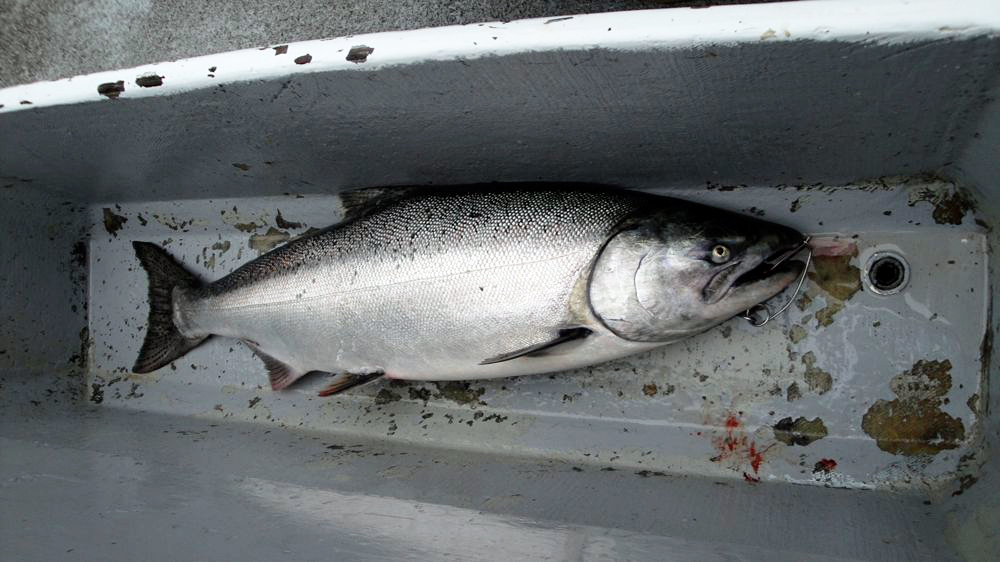 A freshly caught California Chinook