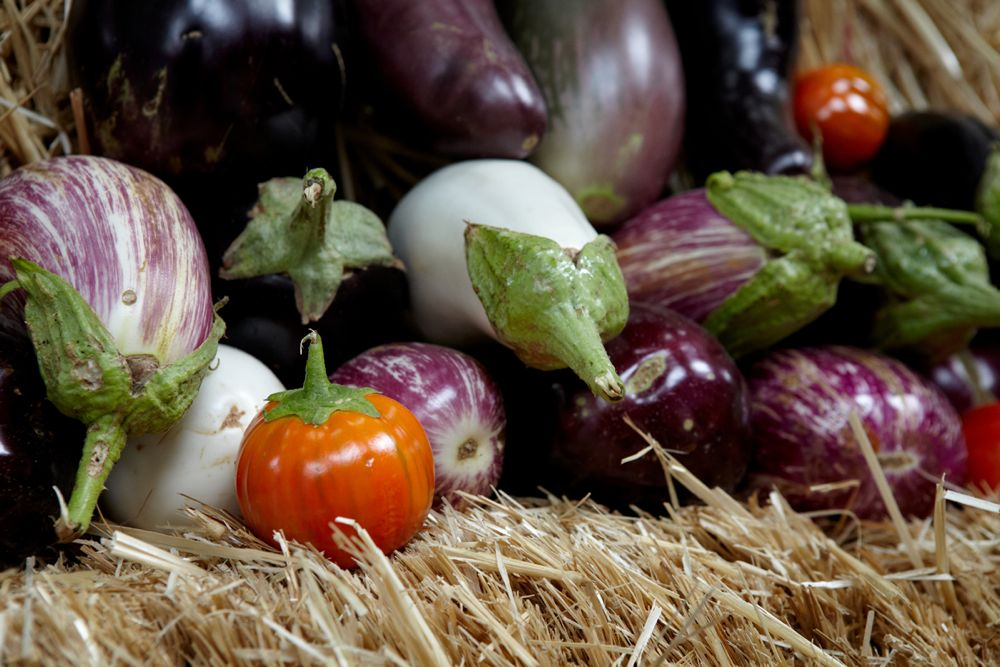 The heirloom Cannibal Tomato is actually an eggplant. Photo: Marla Aufmuth
