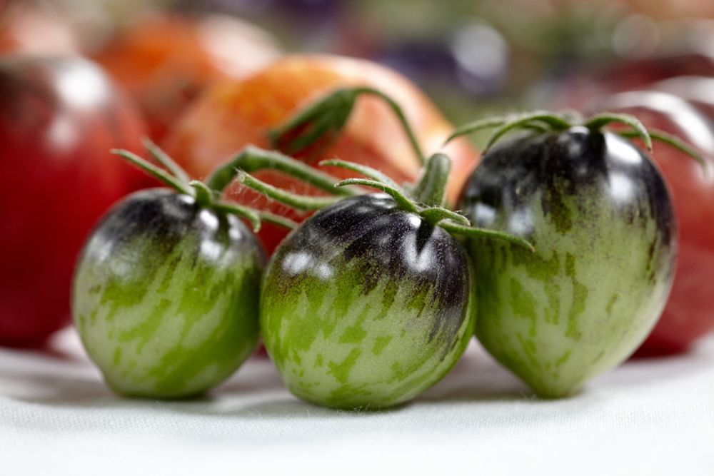 Recent studies have shown that green parts on tomatoes increase their sweetness. These have been bred out of many pure red tomatoes found in grocery stores. Photo: Marla Aufmuth