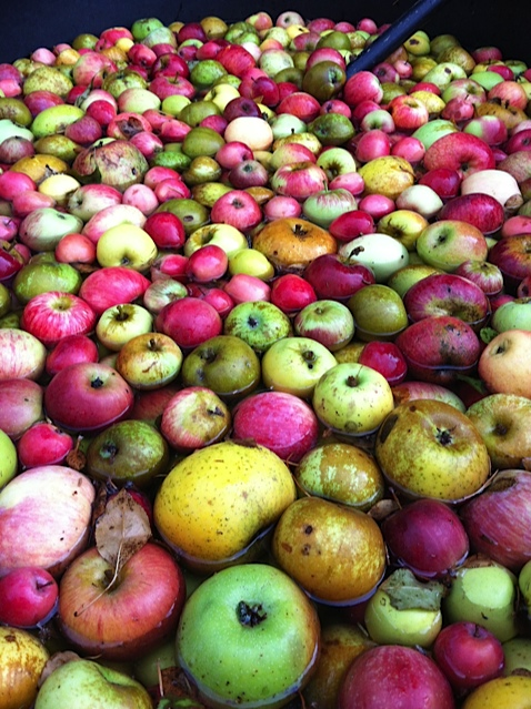Apple washing tub. Photo: Ellen Cavalli