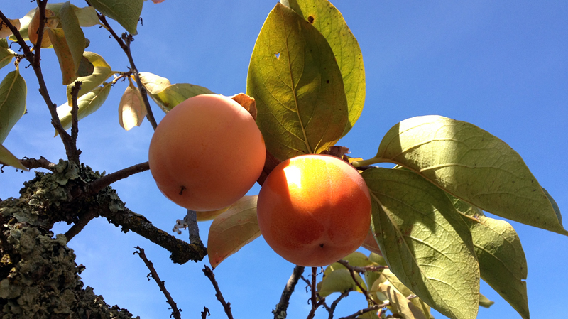 The chocolate persimmon on the vine. Photo: KQED/Rachael Myrow