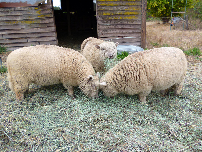 Babydoll sheep Pomona, Hera, and Seamus eating hay. Photo: Stephanie Rosenbaum