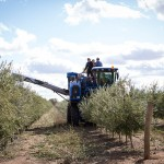 California Olive Ranch Harvest