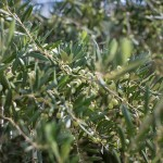 Olives Ripe for the Picking