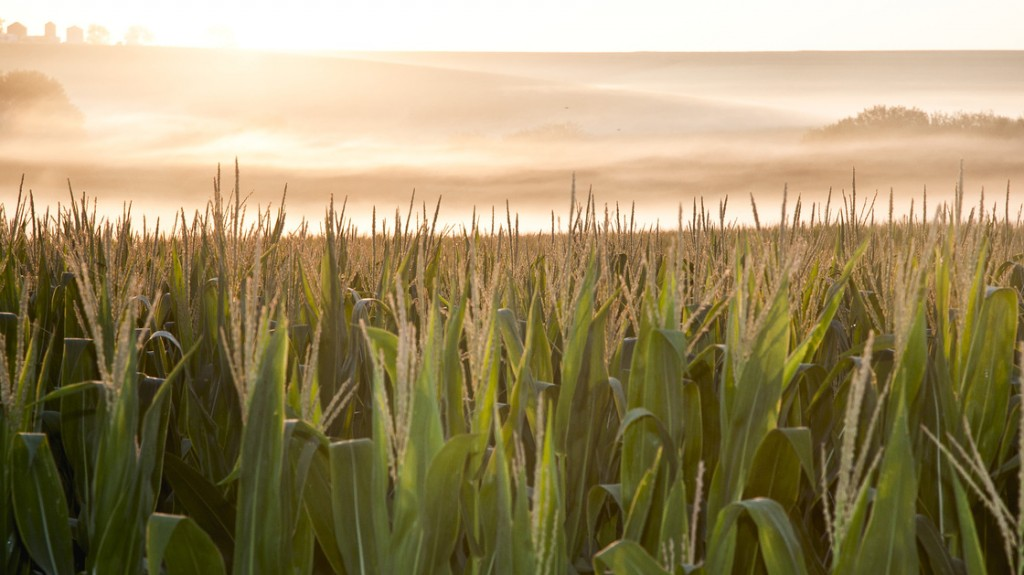 A corn field is shrouded in mist at sunrise in rural Springfield, Neb. Photo: Nati Harnik/AP