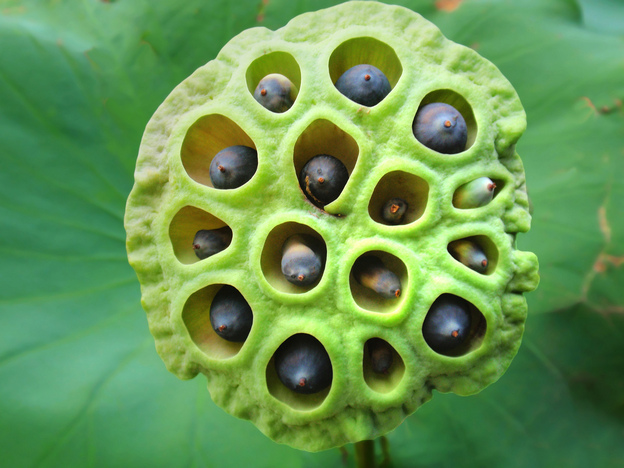 Beautiful or creepy? A recent survey found that an image of a lotus seed head makes about 15 percent of people uncomfortable or even repulsed. Photo: tanakawho/Flickr.com