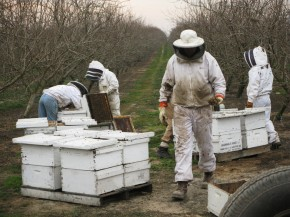 Hired beekeepers work to pollinate an almond orchard near Snelling, Calif. Wild bees play a critical role in helping honeybees pollinate crops, but they often can't survive on modern monoculture farms. Photo: Dan Charles/NPR