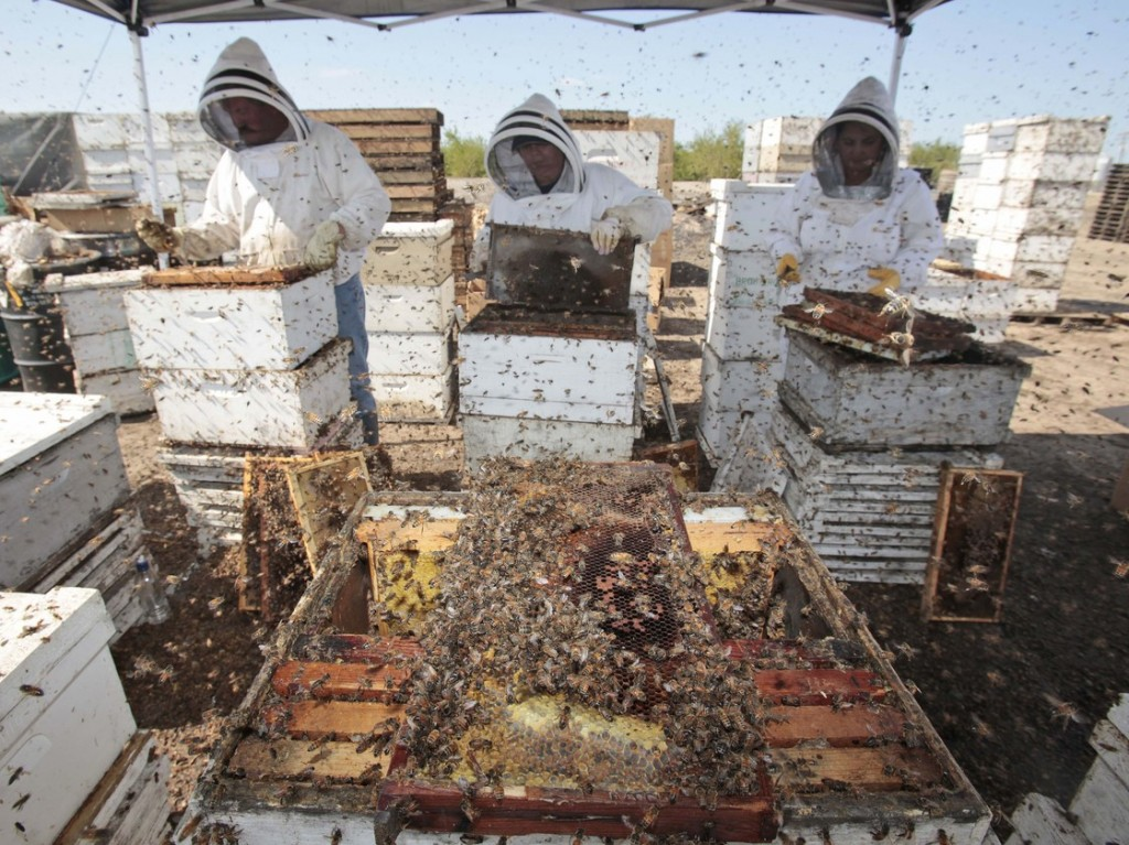 Workers clear honey from dead beehives at a bee farm east of Merced, Calif. Photo: Marcio Jose Sanchez/AP
