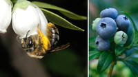 Wild Bees Are Good For Crops, But Crops Are Bad For Bees