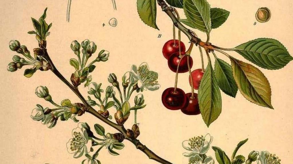Koehler's Medicinal Plants/Image courtesy Missouri Botanical Garden. http://www.botanicus.org