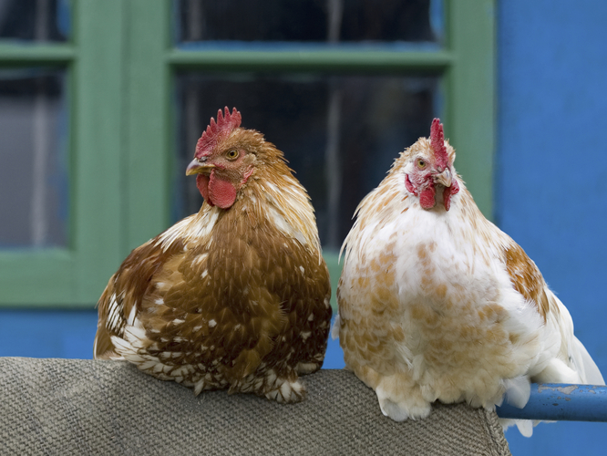 Backyard chickens can be a great hobby. They can also spread disease. Photo: iStockphoto.com