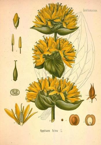 Koehler's Medicinal Plants/ Image courtesy Missouri Botanical Garden. http://www.botanicus.org