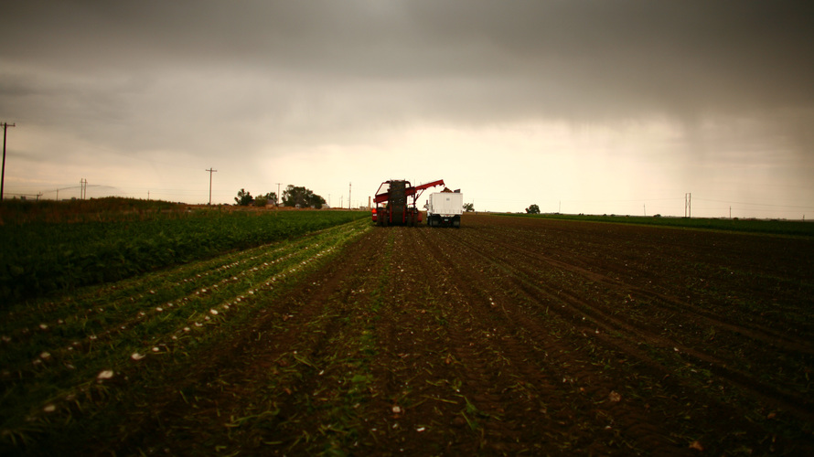 Farmers harvest a sugar beet crop in Gilcrest, Colo. Photo: Matthew Staver/Landov