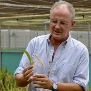 Dr. Gerard Barry, IRRI's golden rice project leader, inspects golden rice in the screen house. Photo: Bill Sta. Clara/International Rice Research Institute