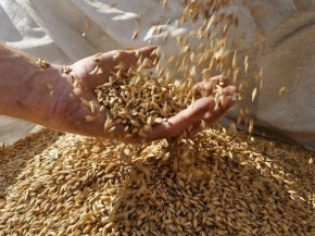 Valley Malt, in Hadley, Mass., works with 25 farmers growing six different types of grain in the Northeast. Photo: Courtesy of Valley Malt
