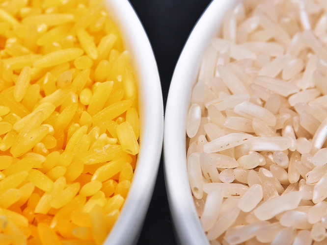 Genetically modified to be enriched with beta-carotene, golden rice grains (left) are a deep yellow. At right, white rice grains. Photo: Isagani Serrano/International Rice Research Institute