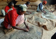 Workers separate beans in the coffee warehouse in Girbey village in Yergachefe, Gedo zone, Ethiopia, on Friday, Dec. 7, 2007. Beyene works 8 hours a day for 6 Ethiopian birr. Every day the world consumes over 1 billion cups of coffee, generating $80 billion in annual retail sales. That makes it the most valuable traded commodity after oil. Of this, coffee growers make on average 3 cents on every $3 latte bought. Photographer: Michael Tsegaye/Bloomberg News