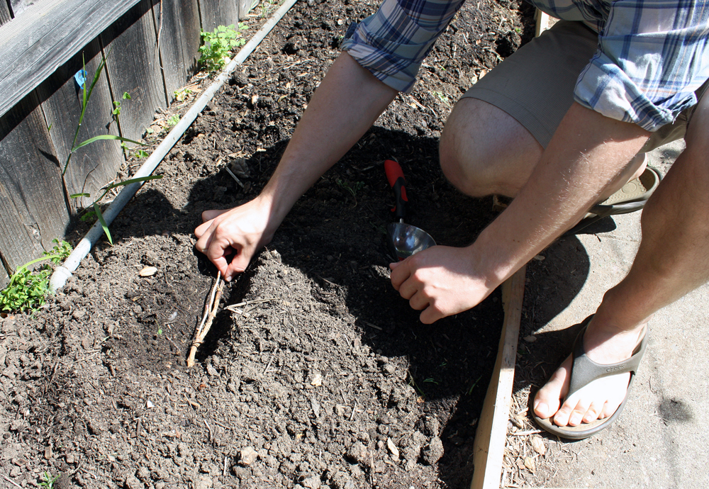 Sam Gilbert plants a Centennial hops rhizome between cilantro and rosemary plants, which will also be used in home-brewed beer.