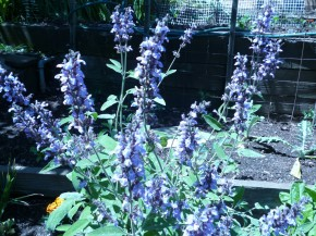 Bees Like Blue Flowers; Lavender