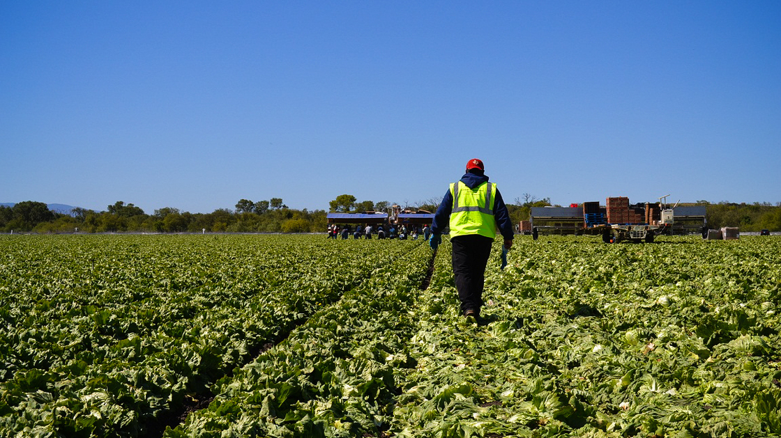 American farms like this iceberg lettuce field owned by Duda Farm Fresh Foods outside Salinas, Calif., are facing a dwindling supply of farmworkers from rural Mexico. Photo: Kirk Siegler/NPR