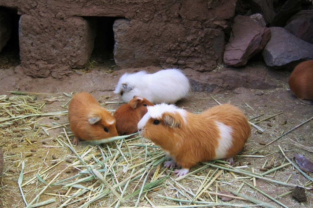 Guinea pigs at a farm for the animals in Puno, Peru, where they're considered a delicacy. Photo: Phil Whitehouse/via Flickr