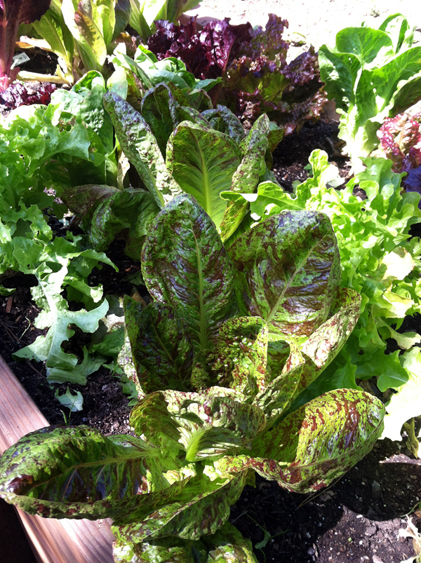 Lettuces like cool weather.