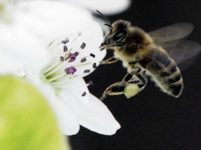 A bee collects nectar from a fruit tree in West Bath, Maine. The number of honeybees has now dwindled to the point where there may not be enough to pollinate some major U.S. crops. Photo: Pat Wellenbach/AP
