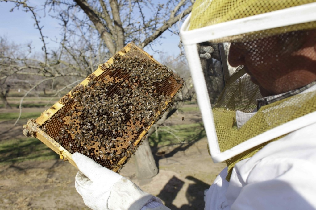 A bee inspector checks on a frame of bees to assess the colony strength near Turlock, Calif., in February. More than 30 percent of America's bee colonies died off over the winter. Photo: Gosia Wozniacka/AP