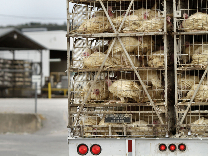 A truckload of live turkeys arrives at the Cargill plant in Springdale, Ark., Thursday, Aug. 4, 2011. Photo: Danny Johnston/AP