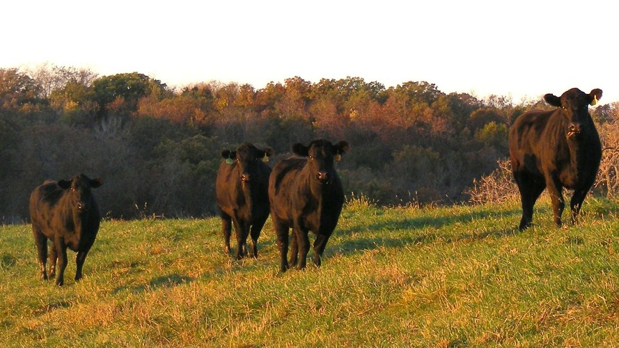 Heifers at Timber Ridge Cattle Co., an operation in Osceola, Iowa, that feeds some of its cattle flax seed. Photo: Courtesy of Timber Ridge Cattle Co.