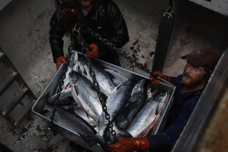 Crew members unload a catch of sockeye salmon at Craig, Alaska, in 2005. Researchers say fish are being found in new areas because of changing ocean temperatures. Photo: Melissa Farlow/National Geographic/Getty Images