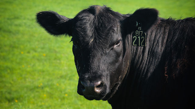 Whenever a steer or cow leaves a farm in Michigan or goes to a slaughterhouse, it passes by a tag reader, and its ID number goes to a central computer that keeps track of every animal's location. Photo: Dan Charles/NPR