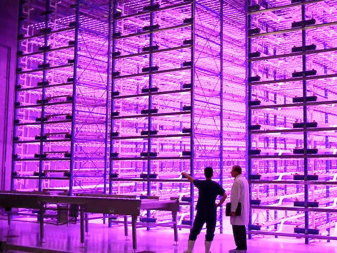 "This ""pinkhouse"" at Caliber Biotherapeutics in Bryan, Texas, grows 2.2 million plants under the glow of blue and red LEDs. Photo: Courtesy of Caliber Therapeutics"