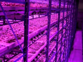 Plants at Caliber Biotherapeutics grow under blue and red LEDs, with wavelengths of light that match those that get absorbed by the photosynthetic machinery. Photo: Courtesy of Caliber Biotherapeutics