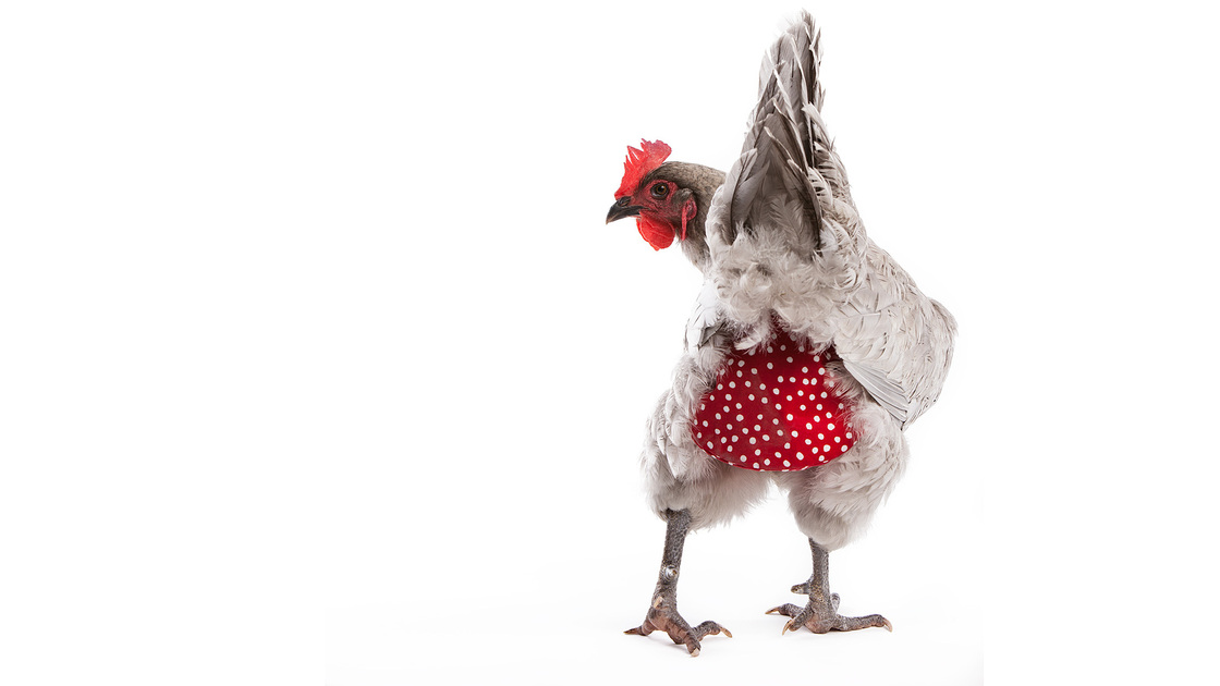 "Clucking all the way to the bank: A hen models a polka-dot diaper from MyPetChicken.com, a multimillion-dollar business that sells everything from chicken caviar treats to day-old birds. Photo: <a href=""http://www.mypetchicken.com/catalog/Diapers-and-Saddles/Chicken-Diaper-Free-shipping-p494.aspx#"">MyPetChicken.com</a>"