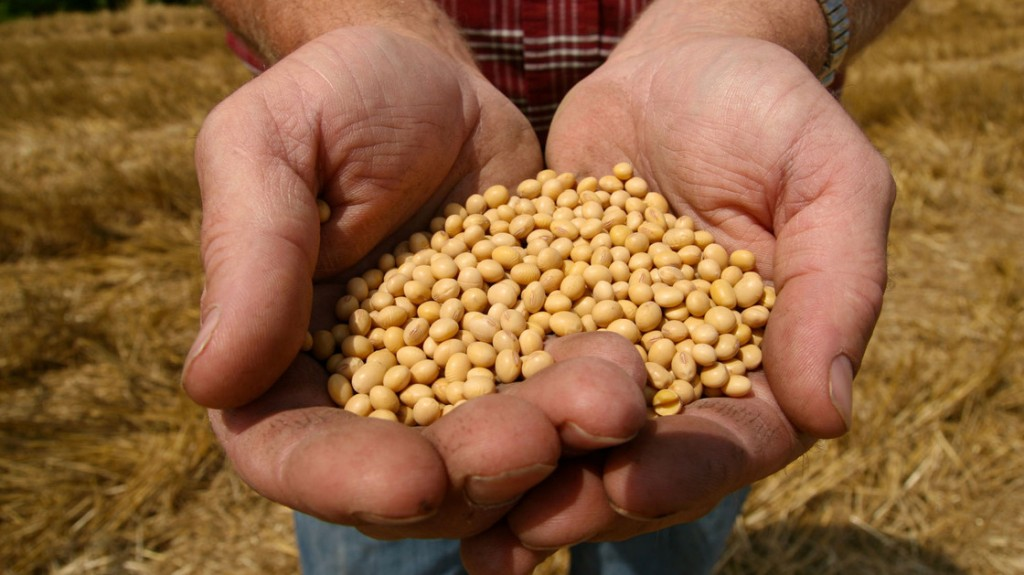 "A farmer holds Monsanto's ""Roundup Ready"" soybean seeds at his family farm in Bunceton, Mo. Photo: Dan Gill/AP"
