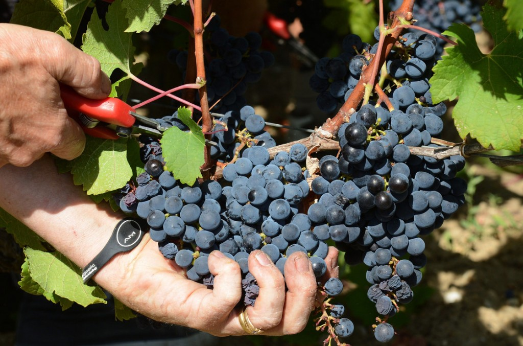 A worker harvests cabernet sauvignon grapes at a vineyard near Bordeaux, France, in September. Photo: Caroline Blumberg/EPA/Landov