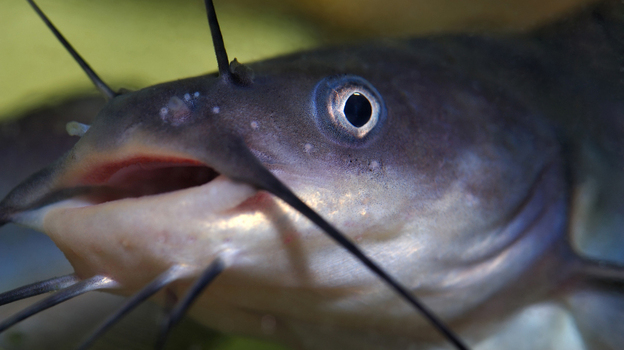 These funny mustachioed fish are at the center of a farm bill fight in the House and Senate. Photo: Sasha Radosavljevic/iStockphoto.com