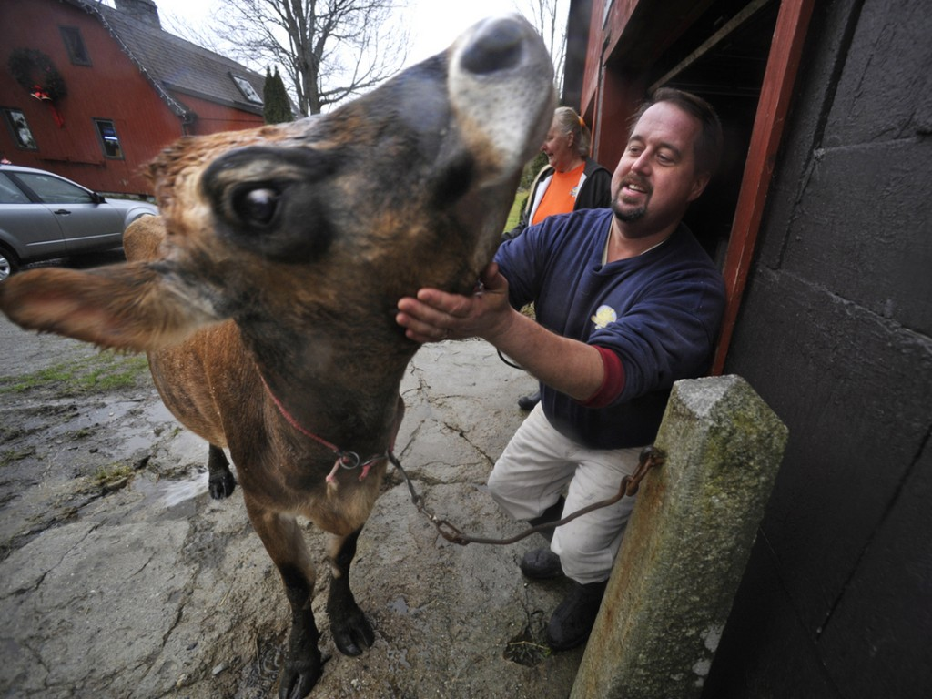 "Dan Brown pets ""Sprocket,"" his family's 4-year-old, sole milking cow, before hosing her down at his farm in Blue Hill, Maine. Brown has become the poster child for Maine's food sovereignty movement. Photo: John Clarke Russ/Bangor Daily News"