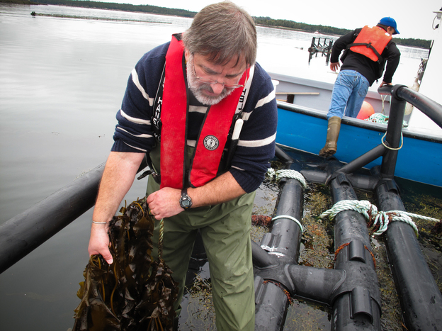 Thierry Chopin examines two type of seaweed being grown around Cooke Aquaculture's salmon farm. The company sells the seaweed as a specialty food and to a cosmetic company, which extracts natural compounds from it. Chopin is also experimenting with seaweed as a protein supplement for fish meal. Photo: Richard Harris/NPR