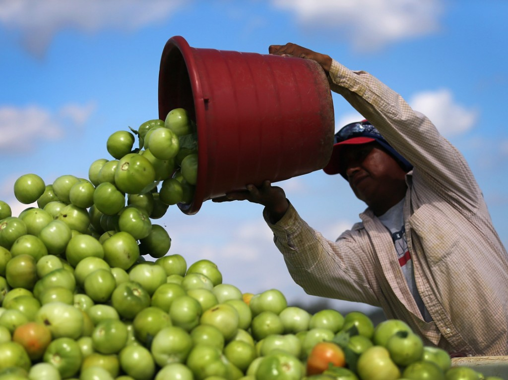 A worker dumps a bucket of tomatoes into a trailer in Florida City, Fla. Much of the lost and wasted weight in fruits and vegetables is water, according to a report by the World Resources Institute. Photo: Joe Raedle/Getty Images