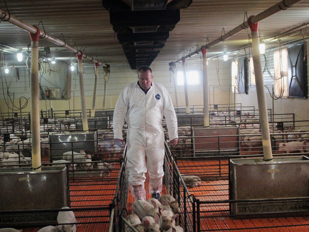Craig Rowles tends to his pigs in a barn near Carroll, Iowa. Photo: Dan Charles/NPR