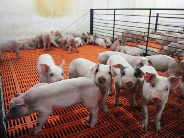 These pigs, newly weaned from their mothers, are at their most vulnerable stage of life. They're getting antibiotics in their water to ward off bacterial infection. Photo: Dan Charles/NPR