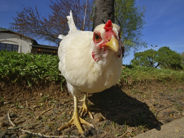 Hipsters Off The Hook: The Truth Behind Abandoned Backyard Chickens