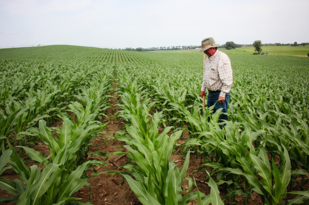 Crop consultant Dan Steiner inspects a field of corn near Norfolk, Neb. Photo: Dan Charles/NPR