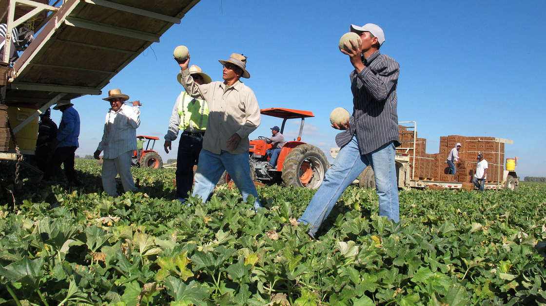 Farmworkers harvest and package cantaloupes near Firebaugh, Calif. Photo: Gosia Wozniacka/AP
