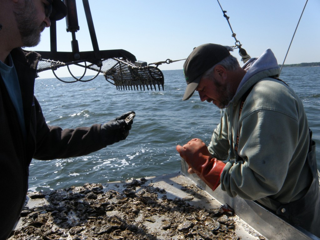 A scientist and a waterman examine oysters hauled up from the Potomac River, which flows into the Chesapeake Bay. Photo: Pamela D'Angelo/for NPR