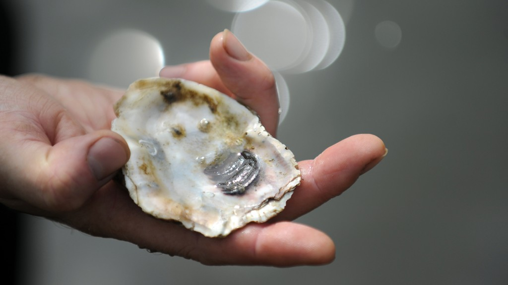 Young oysters live on old oyster shells and slowly mature while forming a complete shell. Photo: Astrid Riecken/Washington Post/Getty Images